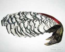 lady Amherst pheasant   head # 2 natural Hareline